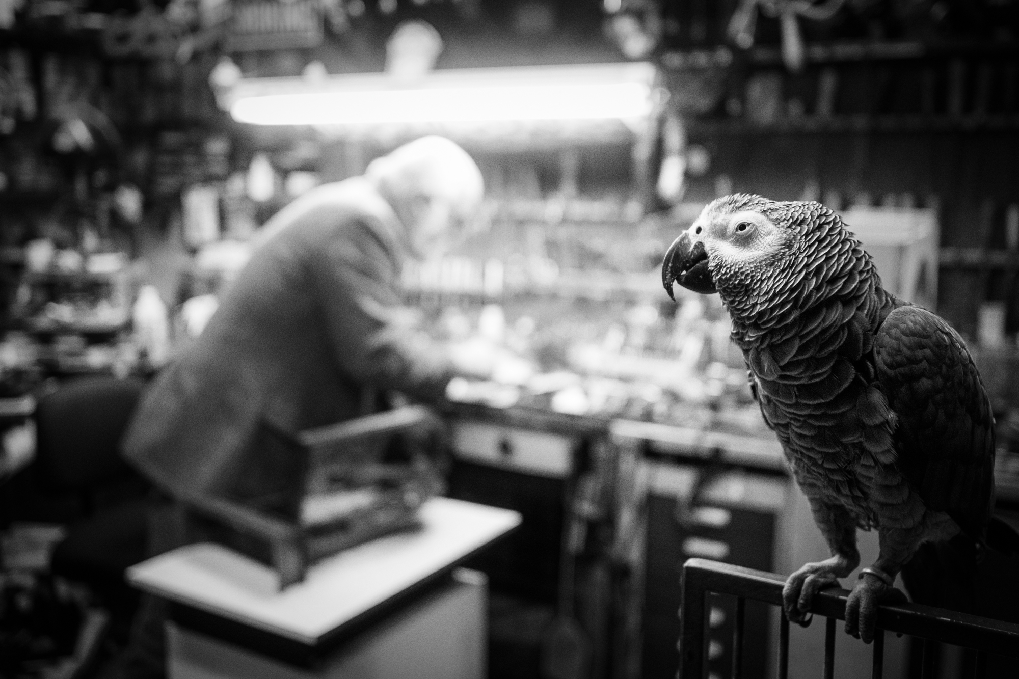 Darling, the gray parrot