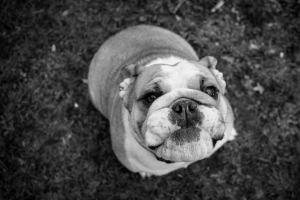 Day 127: Hey, Bulldog