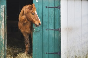 Red Hawk, the resident horse at Sweet Hill Farm in Plaistow, NH.