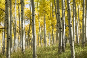 Aspen Grove in fall, somewhere in Colorado
