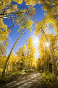 A vertical panorama of an aspen grove