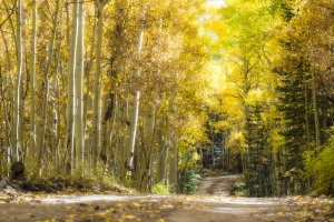Dirt road cuts through an aspen grove in Colorado