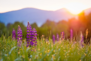 Lupines Dawn