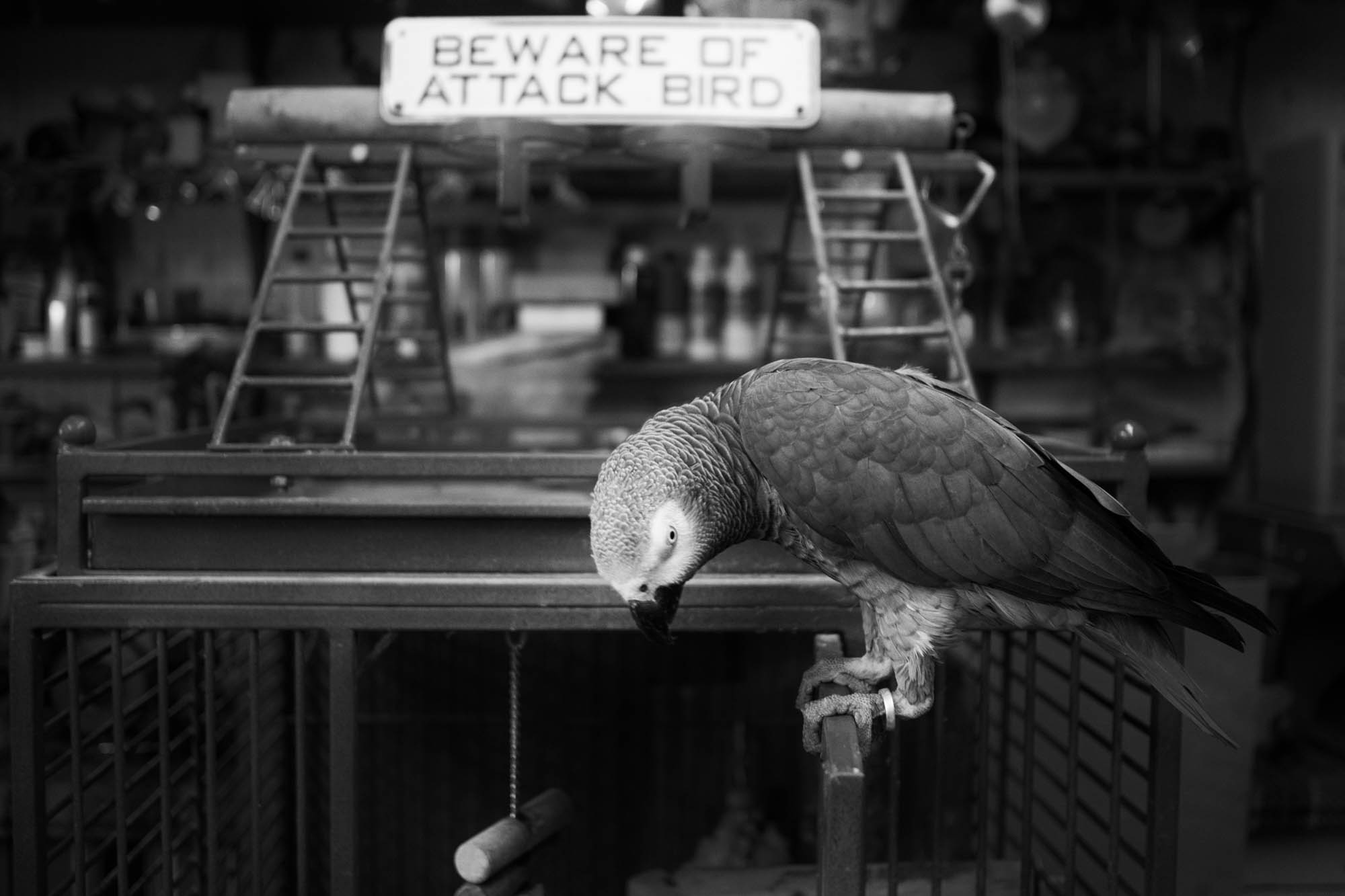 Darling the African Gray Parrot